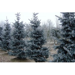 Picea pungens 'Kosteriana...